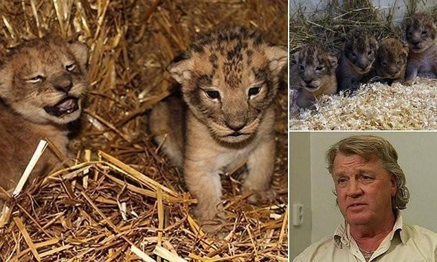 Crueldad infinita: 9 cachorros de león sacrificados en un zoo de Suecia por f..