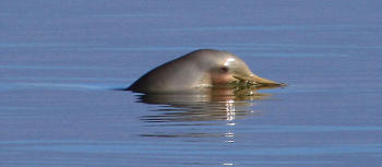Delfin Franciscana nadando