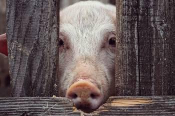 Maltrato animal con cerdos