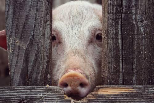"""Se encontraron """"superbacterias"""" en carne de cerdo"""