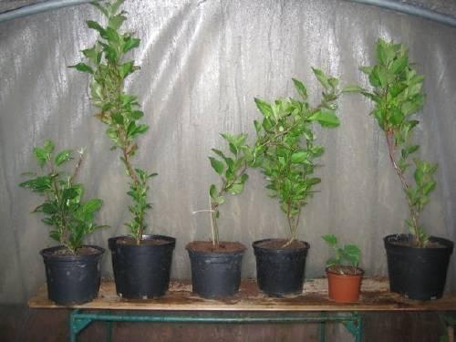 Cómo plantar un manzano desde semilla
