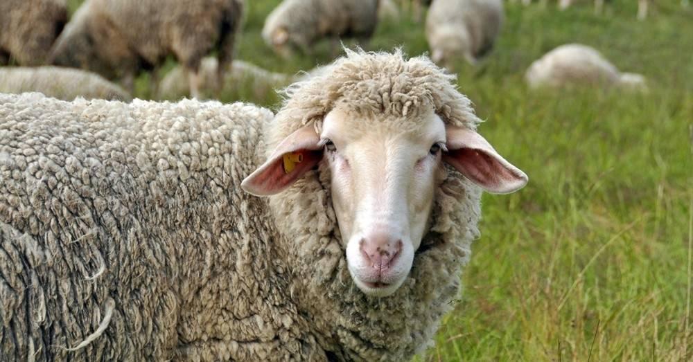 Las ovejas reconocen rostros humanos