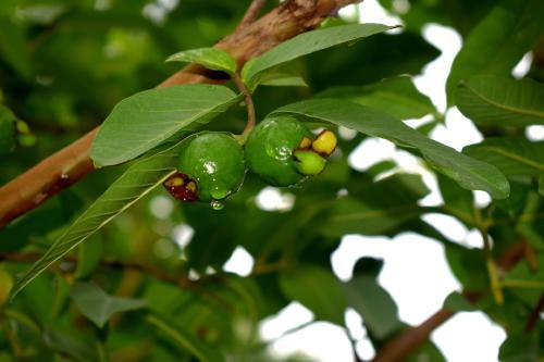 Té de guayaba: beneficios y contraindicaciones