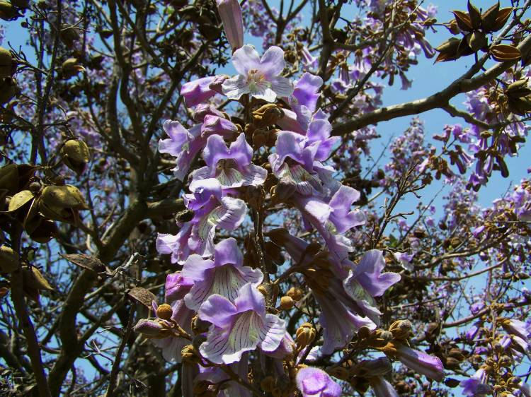 Arbol de kiri en flor