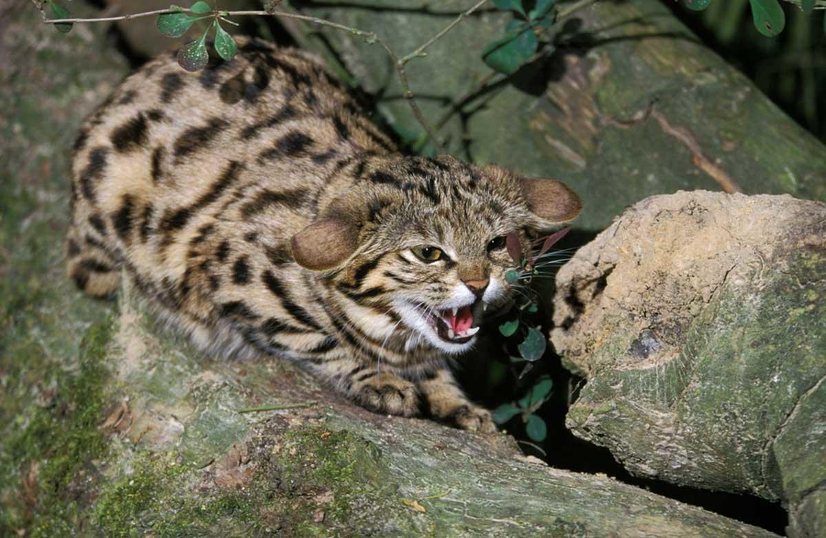 Logran fotografiar al felino más pequeño y peligroso del mundo