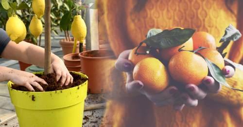 Cómo cultivar árboles frutales en macetas en el hogar