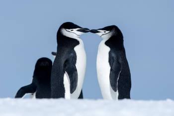 pinguinos barbijos