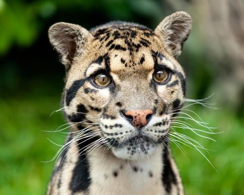 ¡Increíble! Hallan 'pantera nebulosa', especie en peligro de extinción en Tailan