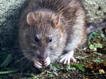 que-significa-soñar-con-ratas-unsplash