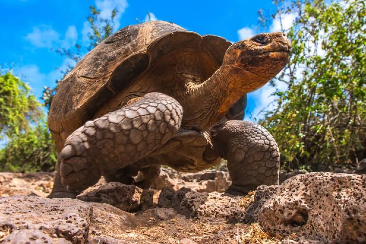 galápagos tortuga