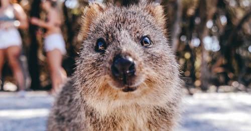 16 curiosidades sobre el quokka, el animal más feliz del mundo