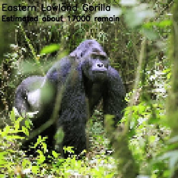 5 - gorila 17 000