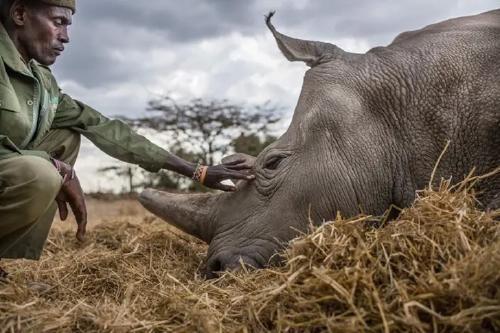 Los últimos rinocerontes blancos del mundo tienen cuidadores personales las 24hs