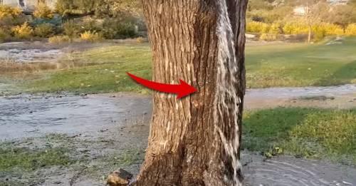 Este árbol que expulsa agua tiene a todos desconcertados