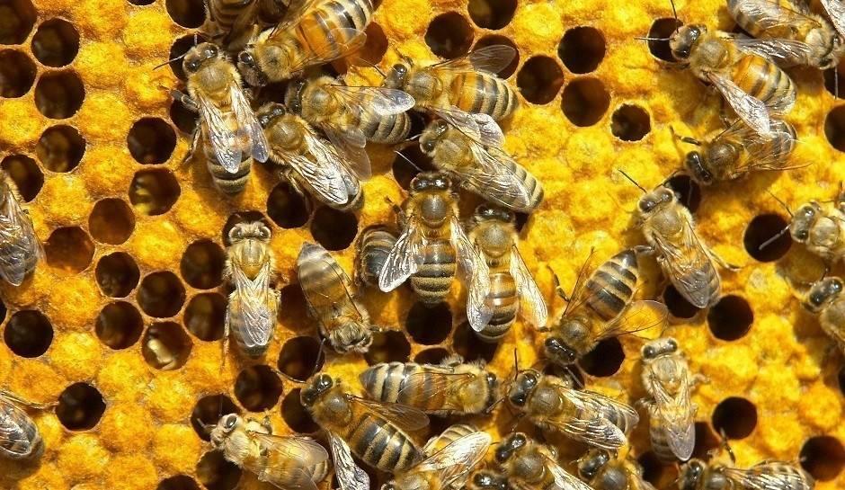Ignorancia y codicia: el origen de las abejas asesinas que matan 20 personas a..