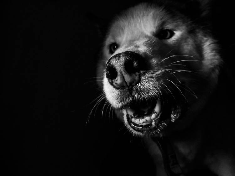 perro fondo negro boca abierta espiritus