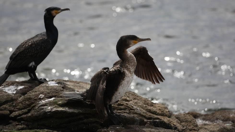 Polémico: una gran matanza de aves a pedido de los pescadores