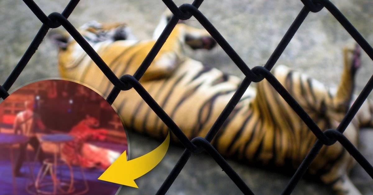 Esta tigresa tuvo un episodio horrible durante un show, y es realmente avergonzante