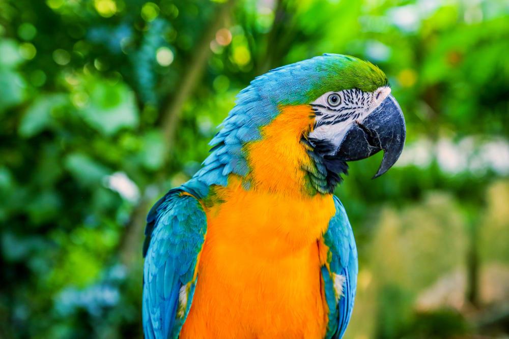 Conoce la historia del Paraba Barba Azul, ave endémica de Bolivia