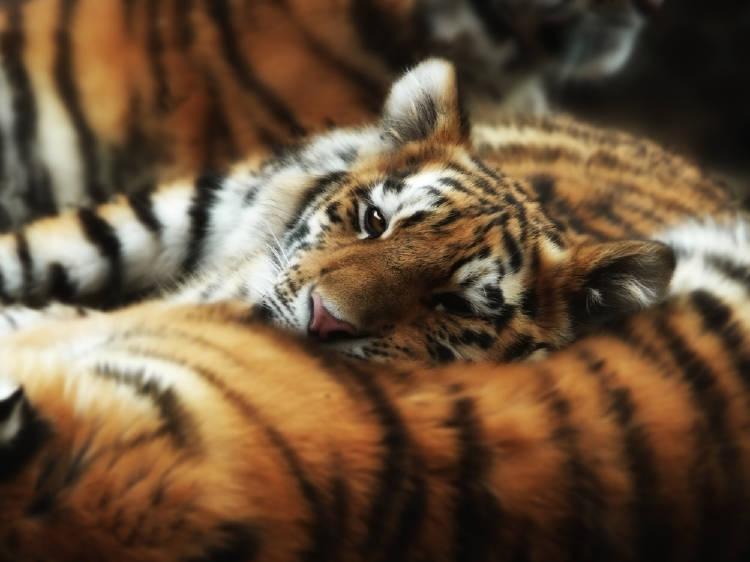 Un tigre duerme sobre su madre