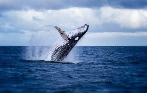 Es culpa del cambio climático: las ballenas escapan de su hogar porque ya no tienen comida