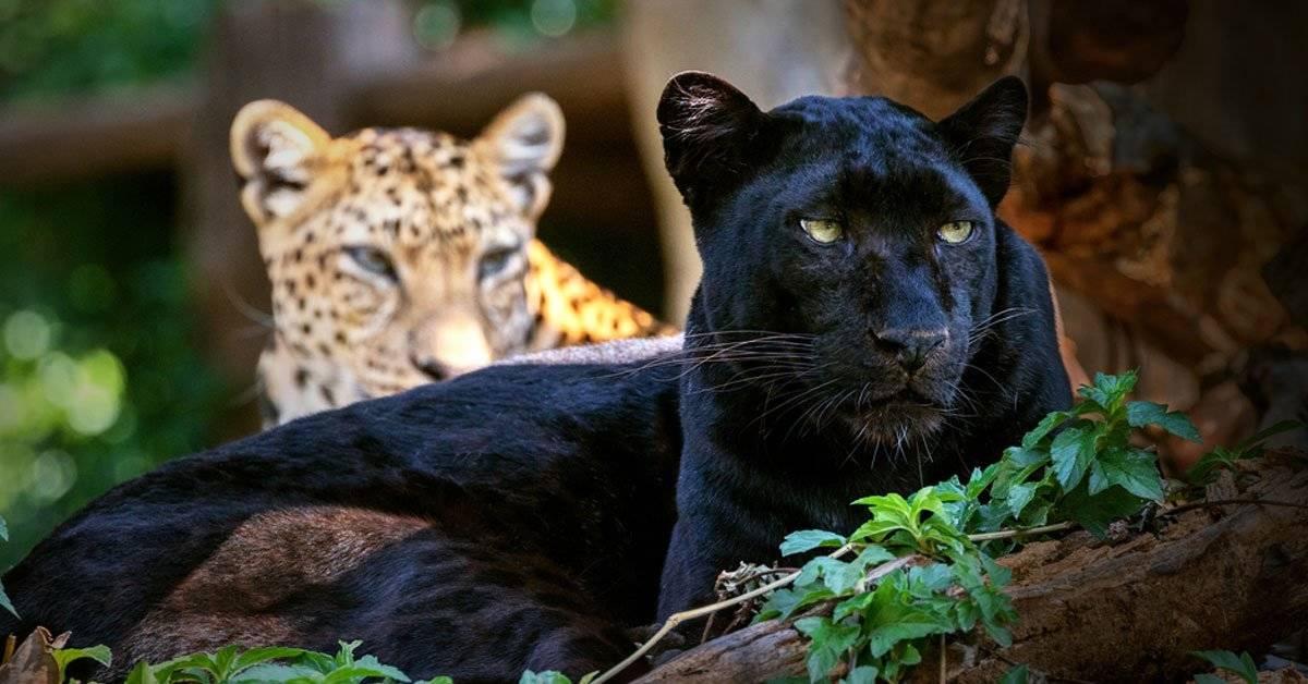 Por primera vez en 100 años aparece el leopardo negro en África
