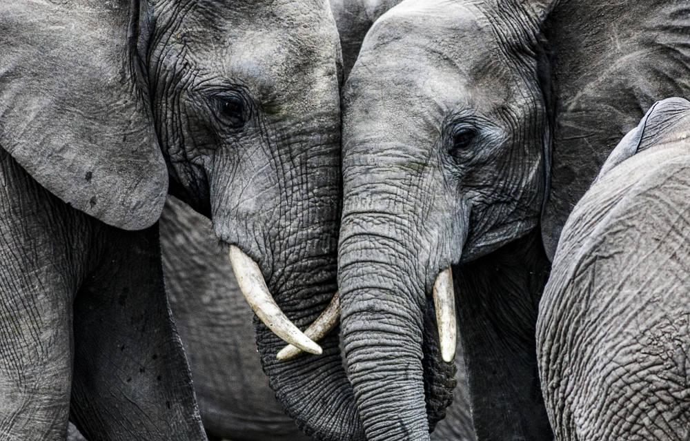 En Sri Lanka murieron 361 elefantes durante 2019: la mayoría fueron asesinados