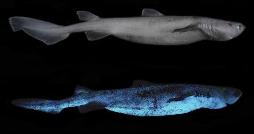 Científicos descubren tres nuevas especies de tiburones que brillan en la oscuridad