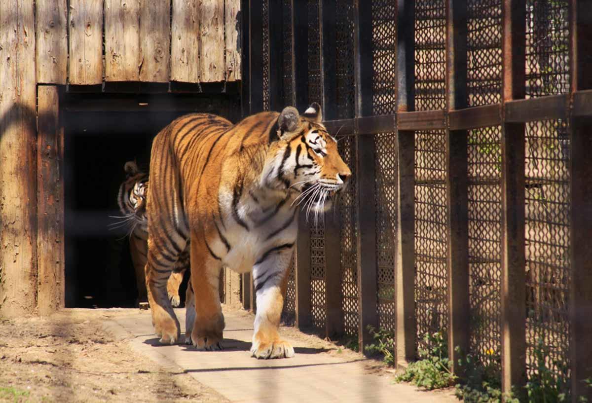 Afirman que hay más tigres en cautiverio en Estados Unidos que viviendo en la naturaleza en todo el mundo