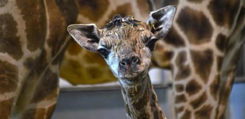 Así fue el arriesgado rescate de 9 jirafas de una isla a punto de hundirse