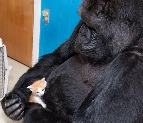 La historia de Koko, una maternal gorila que adopta gatitos