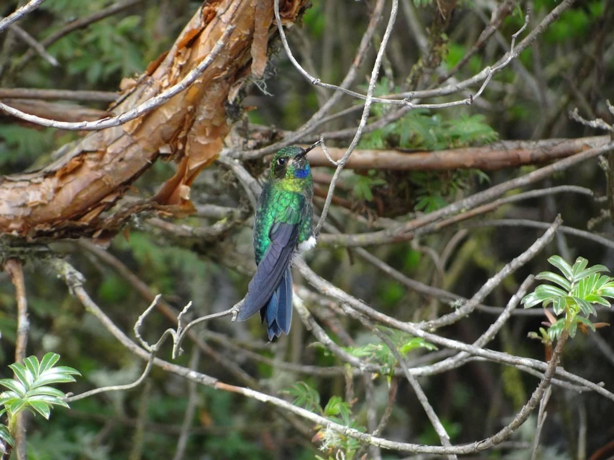 Un bosque escondido entre las nubes ampara a una diminuta ave en peligro