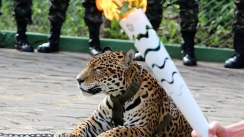 Exhiben a un jaguar junto a la antorcha olímpica... Y lo matan