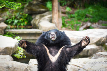 oso asiatico