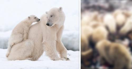 Invasión de osos polares: declaran estado de emergencia