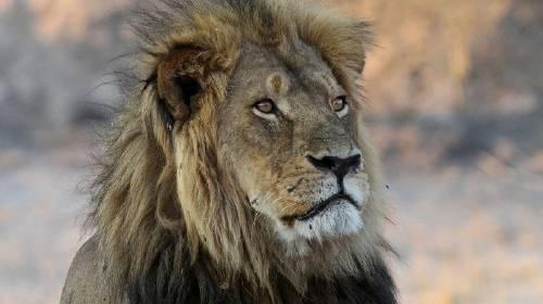 Matan en una cacería al hijo del león Cécil