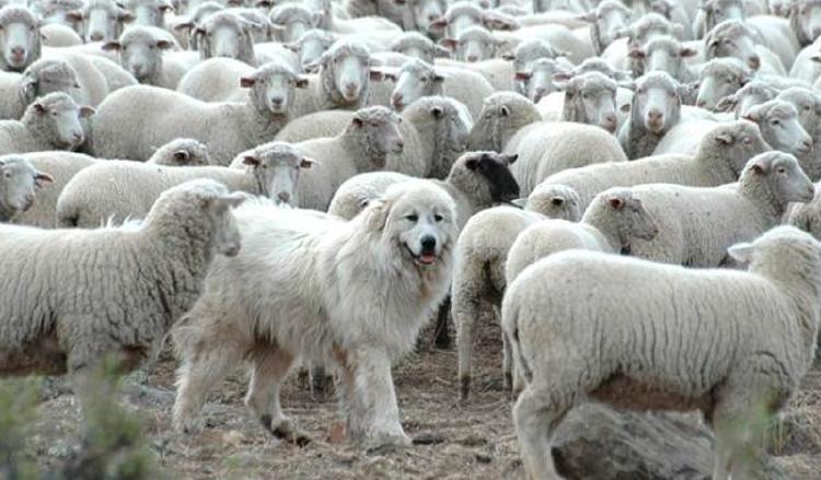 Perro protector y ovejas en Tierra del Fuego
