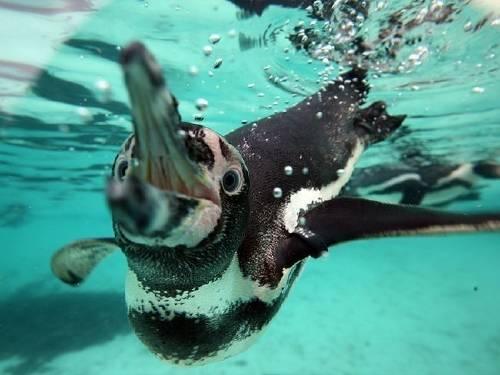 Chile rechaza un proyecto minero multimillonario para salvar a los pingüinos