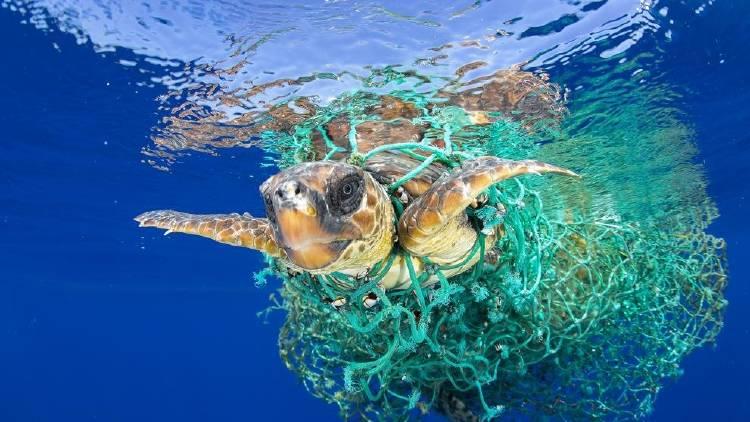 tortuga atrapada en red