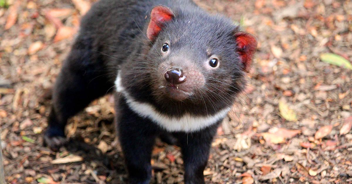 Nacieron 8 demonios de Tasmania: son una esperanza para la especie