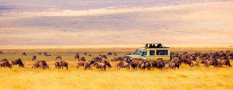 Safari observando a una manada de ñues