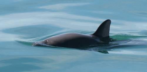 El pedido de Gael García Bernal para salvar a la vaquita marina
