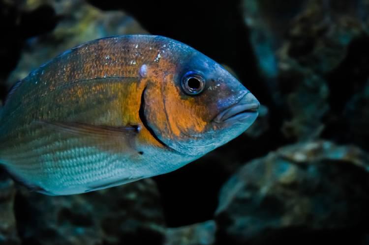 Dorada: encuentran residuos de un antidepresivo común en peces