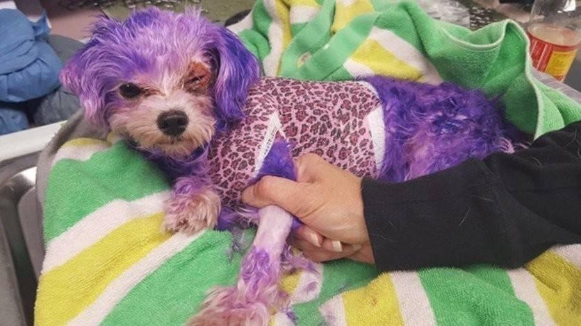Pintar a un perrito de color es crueldad animal: este caso demuestra que jamá..
