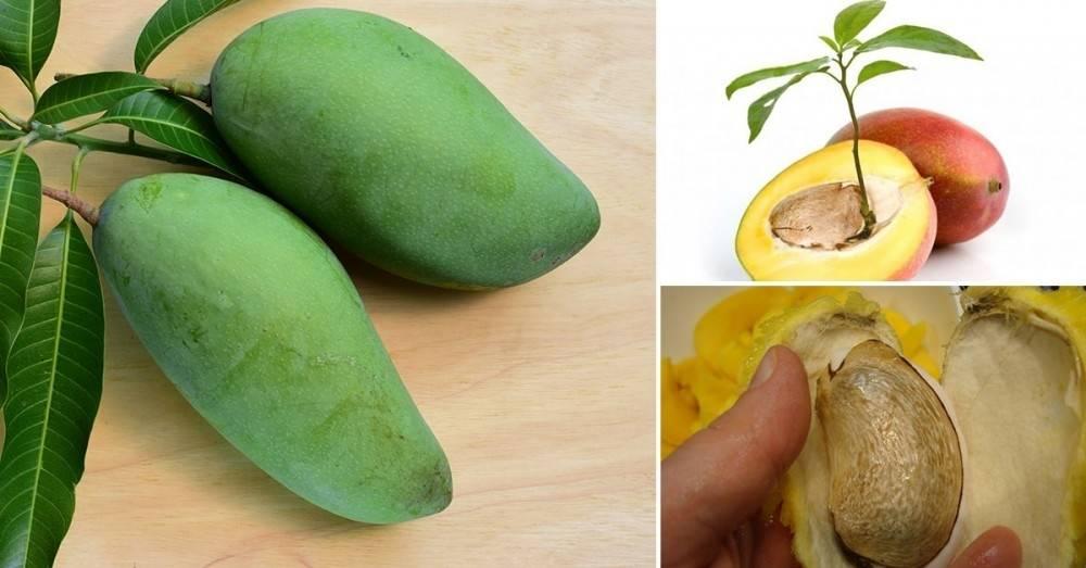 Como germinar y sembrar una semilla de mango y tenerlo para siempre