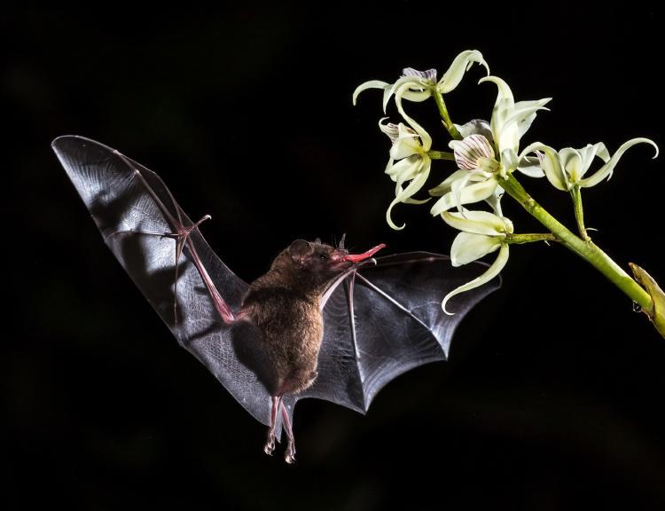 Murciélago bebiendo néctar de una flor nocturna.