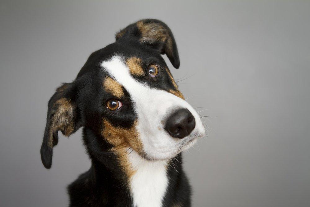 Los perros ladean la cabeza para entendernos mejor