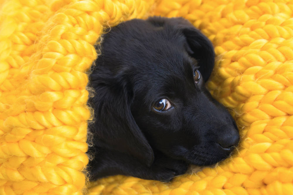 Las mascotas son víctimas del coronavirus, pero no lo contagian
