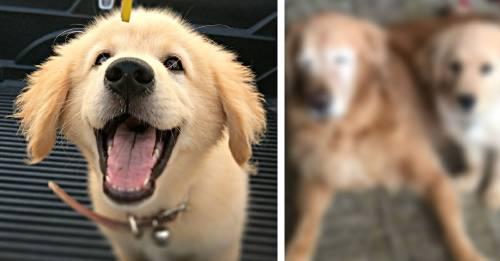 Este tierno cachorro hace de lazarillo para un perro ciego de 11 años
