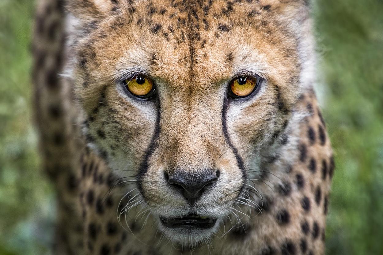 Los guepardos serán reintroducidos en la India después de 70 años